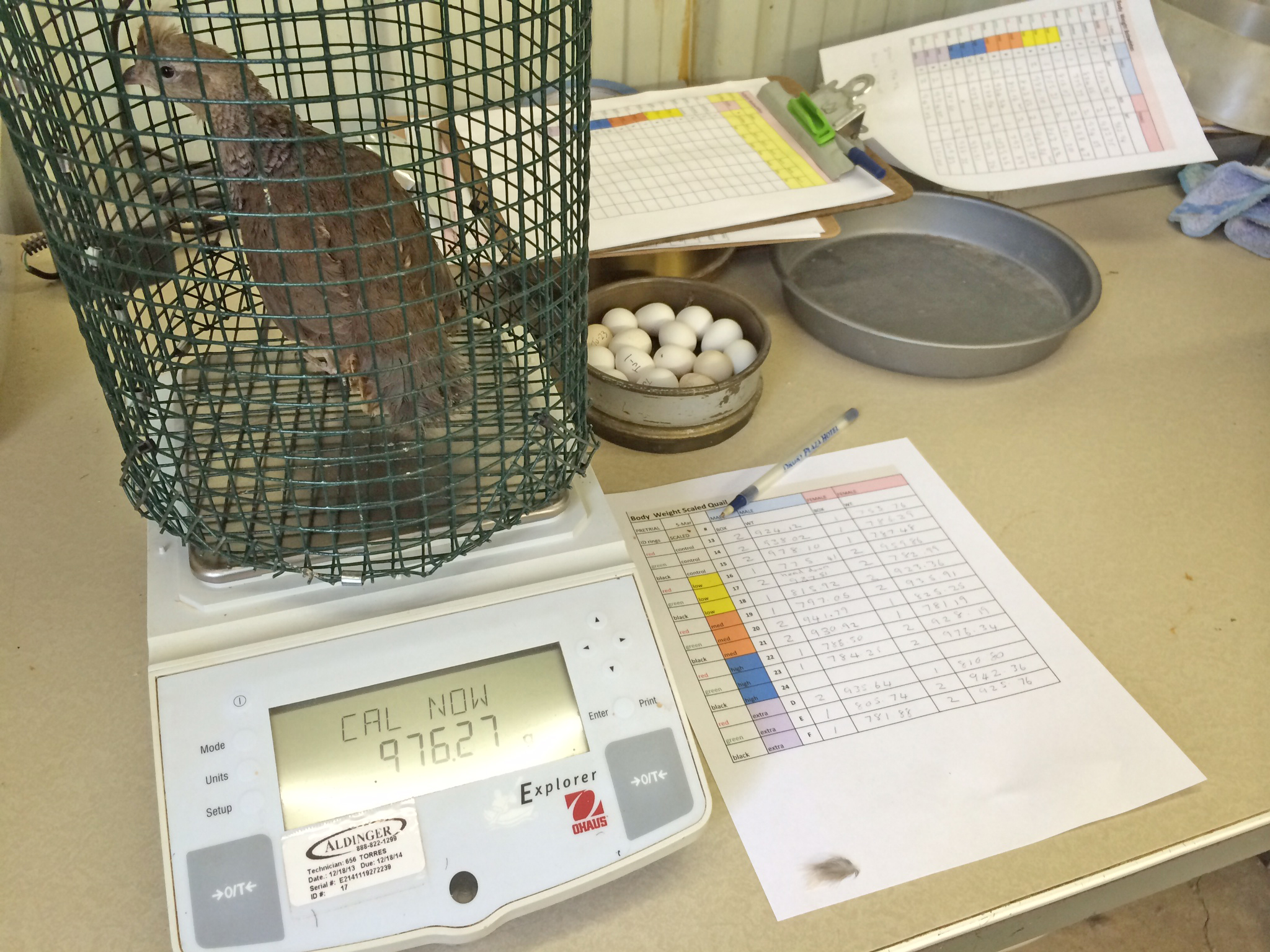 Quail were weighed monthly to see if there was any weight change due to the consumption of grain-based feed with low-level amounts of aflatoxion. (Texas A&M AgriLife Research photo)