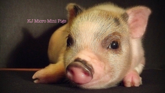 This adorable piglet is pictured here at two weeks old. (Photo by Katie Wells with KJ Micro Mini Pigs)
