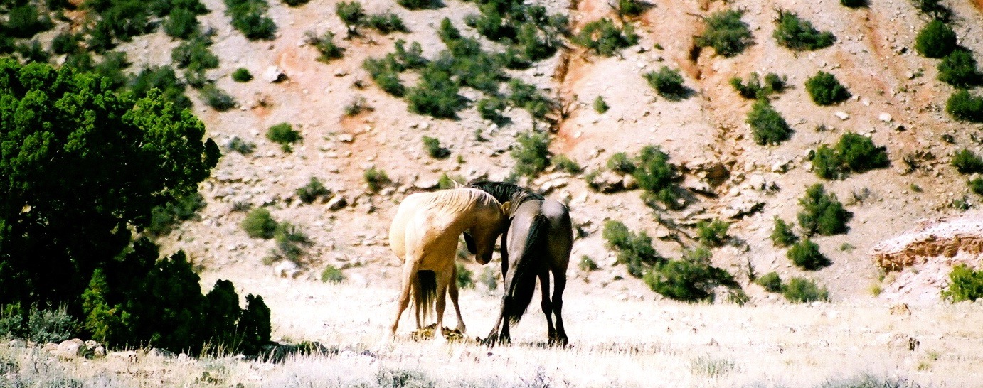 Two wild mustang stallions Steve and wife, Amanda observed in Wyoming. (Photos by Amanda Stevens)