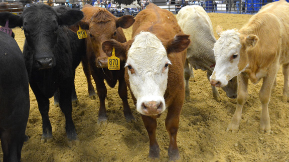 A group of calves at the 2016 Texas and Southwestern Cattle Raisers Convention. (Texas A&M AgriLife Extension Service photo by Blair Fannin)