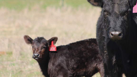 Late-calving cows will be raising calves that do not fit into Pullen's program, which leads to several issues. (Photo by Jessica Crabtree)