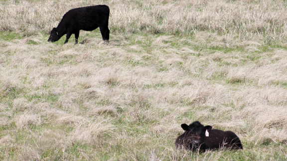 Traditionally calves are weaned at six to eight months, early at three to five.  (Photo by Jessica Crabtree)