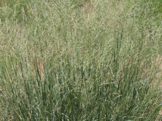 """Kleingrass is an introduced summer perennial bunch grass.  It can grow from 24"""" to 60"""" tall.  (Photo by Tony Dean)"""