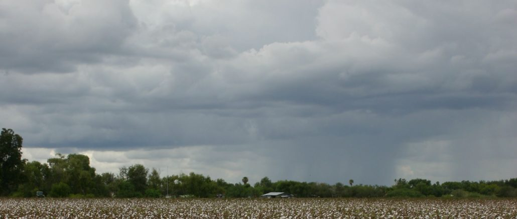 A defoliated cotton field in Hidalgo County awaits harvesting as rain clouds gather on the horizon. (AgriLife Communications photo by Rod Santa Ana)