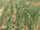 New study shows nitrogen in the soil can be credited without hurting wheat yields. (Texas A&M AgriLife photo by Kay Ledbetter)