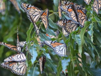 Monarch butterflies rest on a pecan tree during their annual fall migration through the Concho Valley. (Texas A&M AgriLife photo by Steve Byrns)
