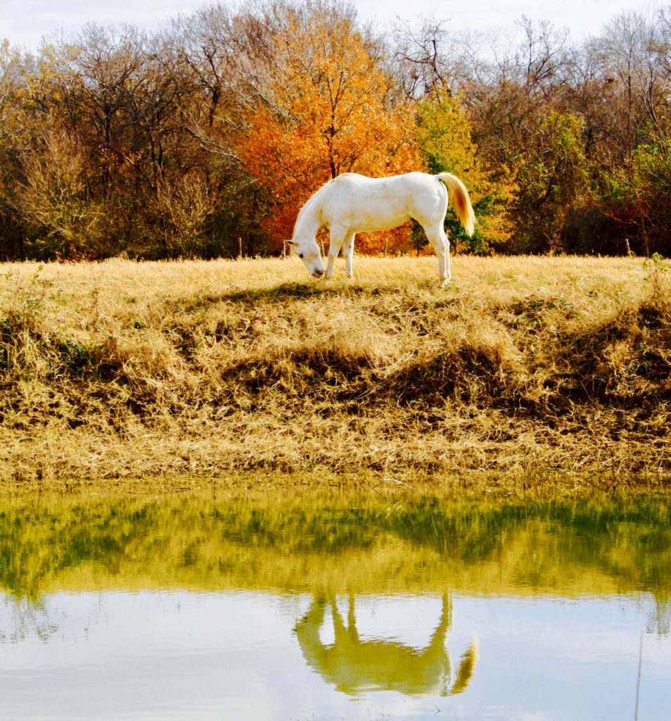 The Stevens horse, Snowflake posing perfectly with a fall backdrop. (Photo courtesy of Amanda Stevens)
