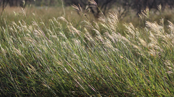 King Ranch Texas >> Grazing North Texas – King Ranch Bluestem… Friend or Foe? – North Texas Farm and Ranch
